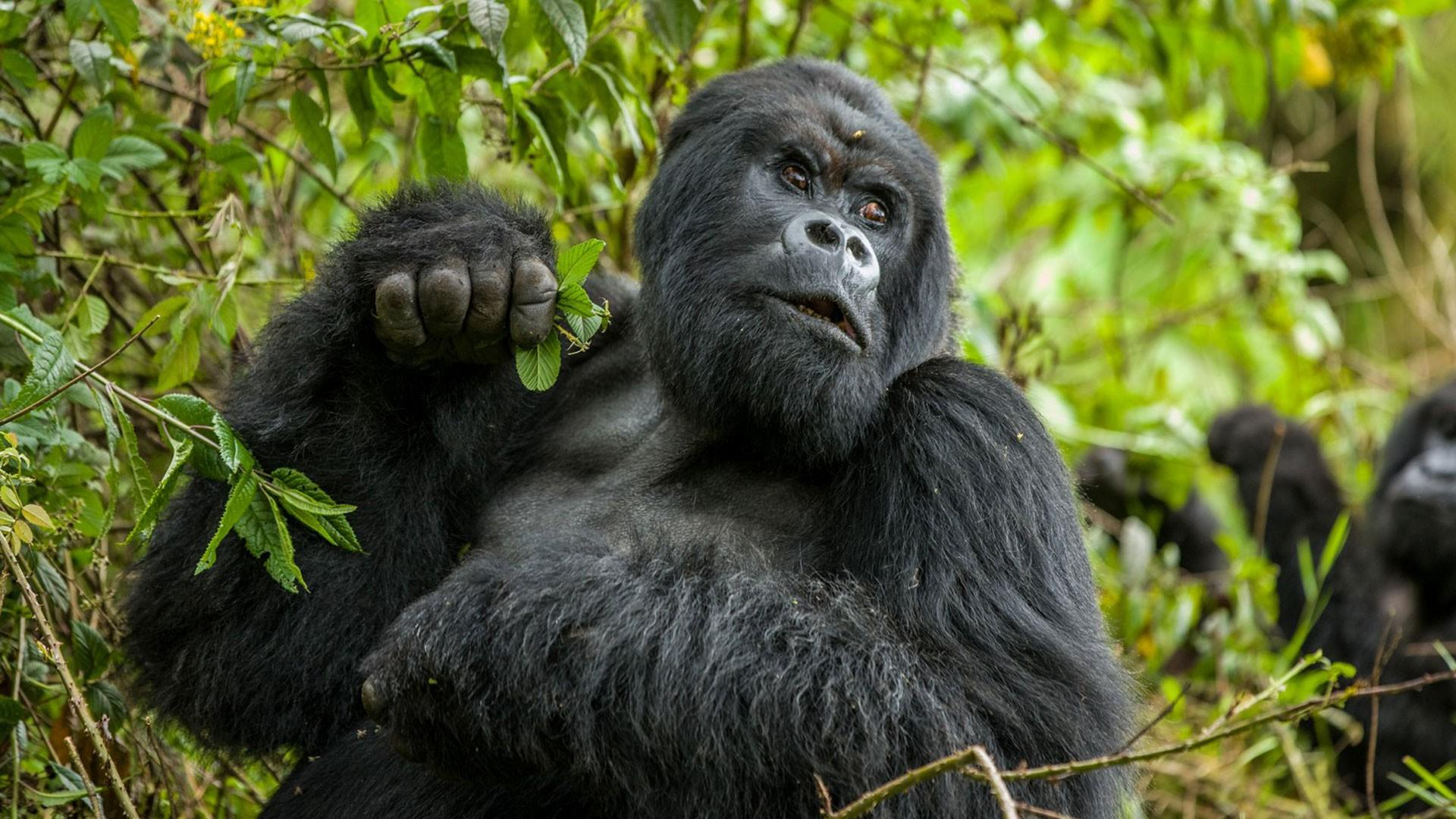Удары в грудь у горилл назвали сигналом о размерах тела