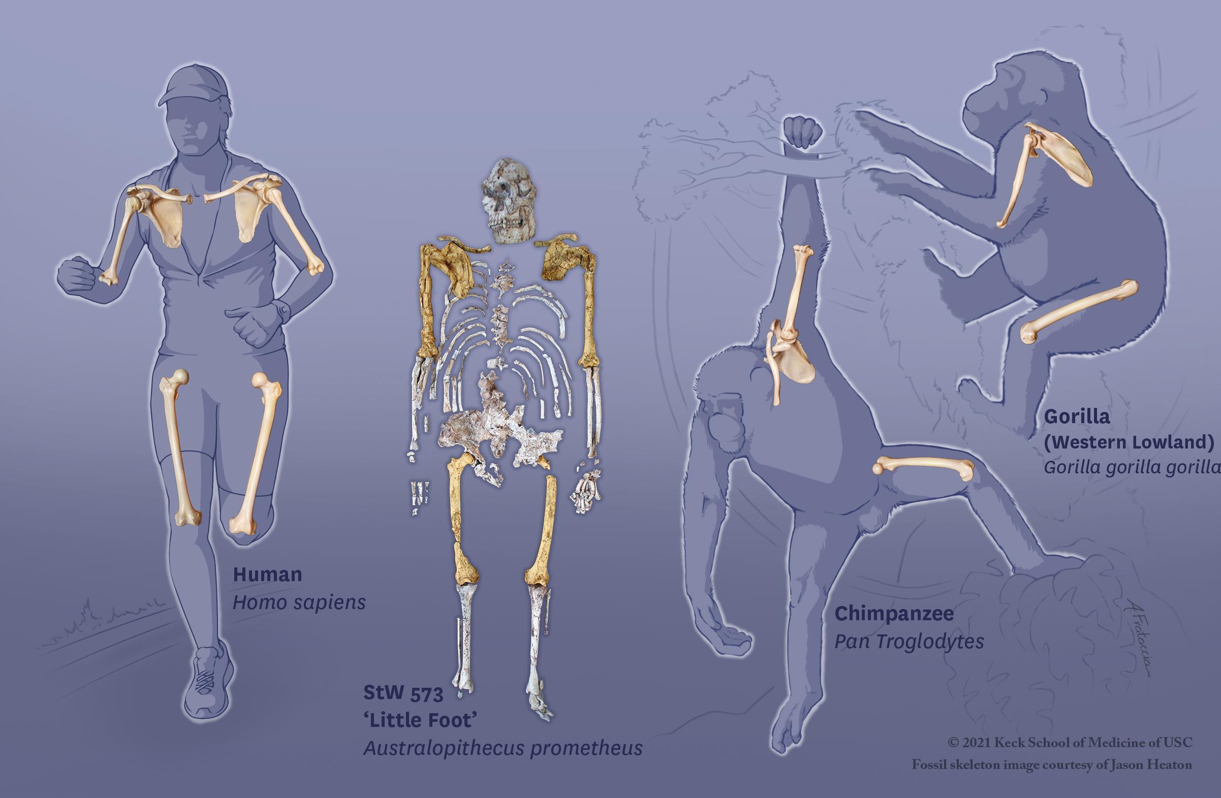 Антропологи показали, что австралопитеки сохраняли обезьянью ловкость в лазании