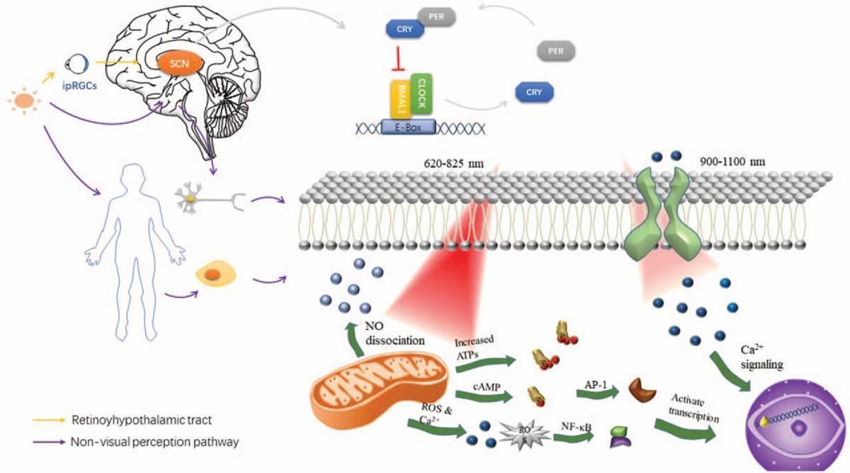 Способен ли свет помочь при нейродегенерациях?