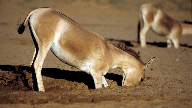Дикие лошади и ослы оказались способны копать колодцы до двух метров глубиной