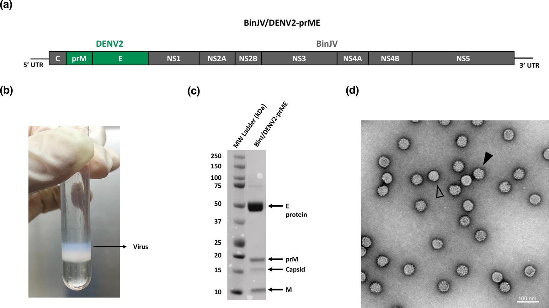 Пластырь с микроиглами доставил вакцину от вируса Денге в эпидермис мышей