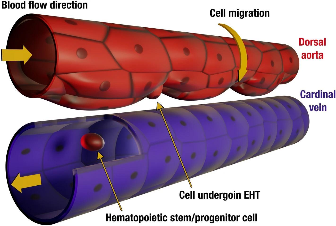 Зародыши рыб помогут искусственно получать стволовые клетки