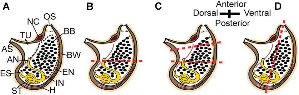 Асцидии Polycarpa mytiligera оказались способны регенерировать большие участки тела