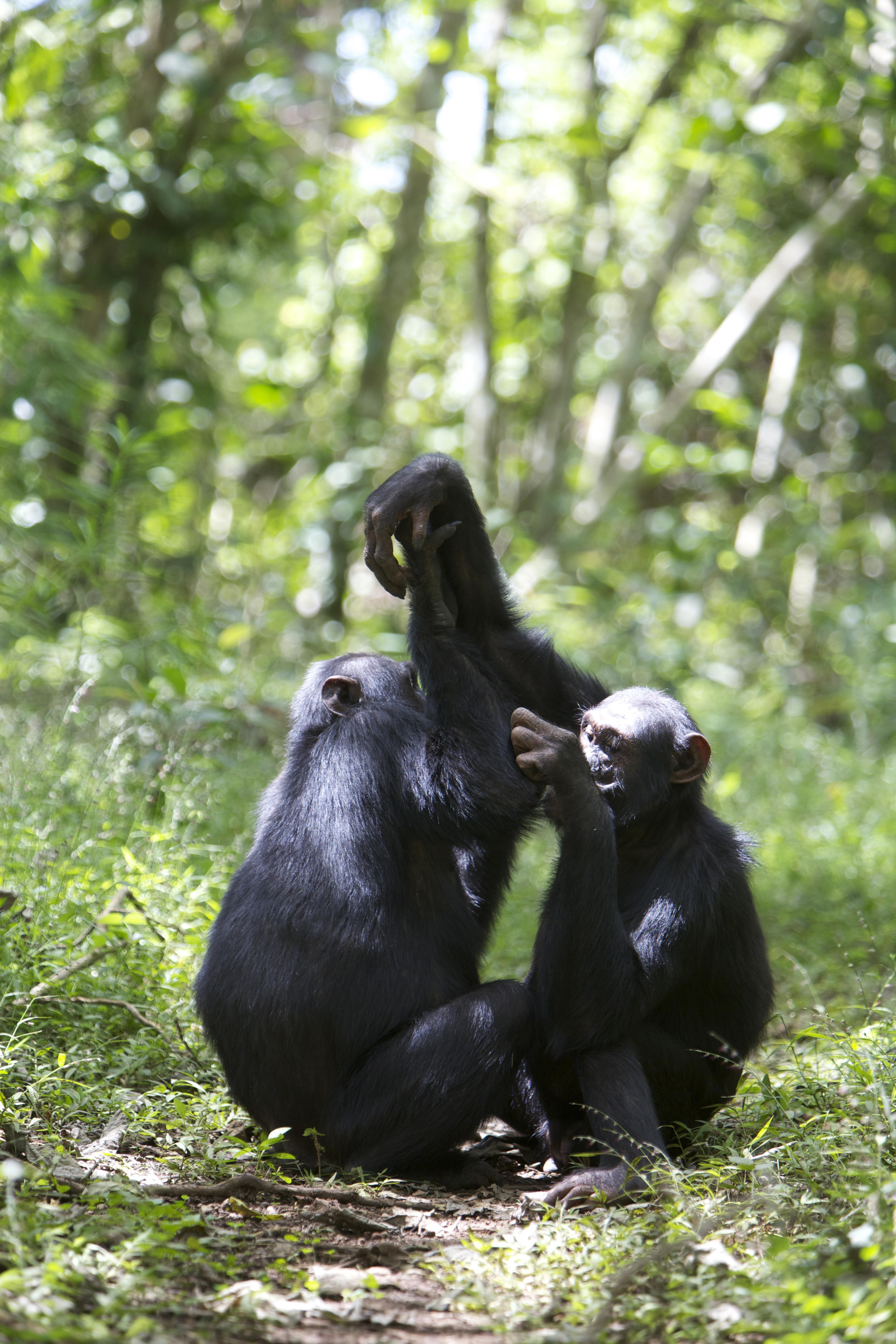 За 12 лет наблюдений шимпанзе биолог выявил уникальные для каждой их социальной группы «рукопожатия»