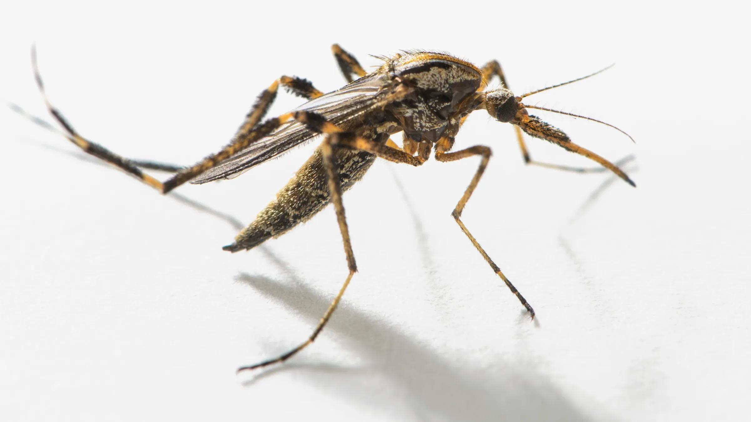 Комары и дрозофилы оказались способны на более сложное поведение, чем предполагали