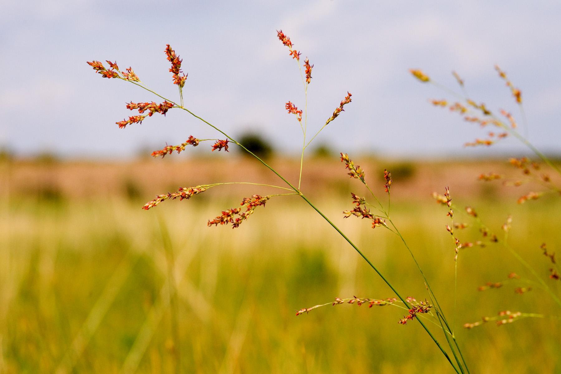Генетически модифицированная трава очищает почву от гексогена