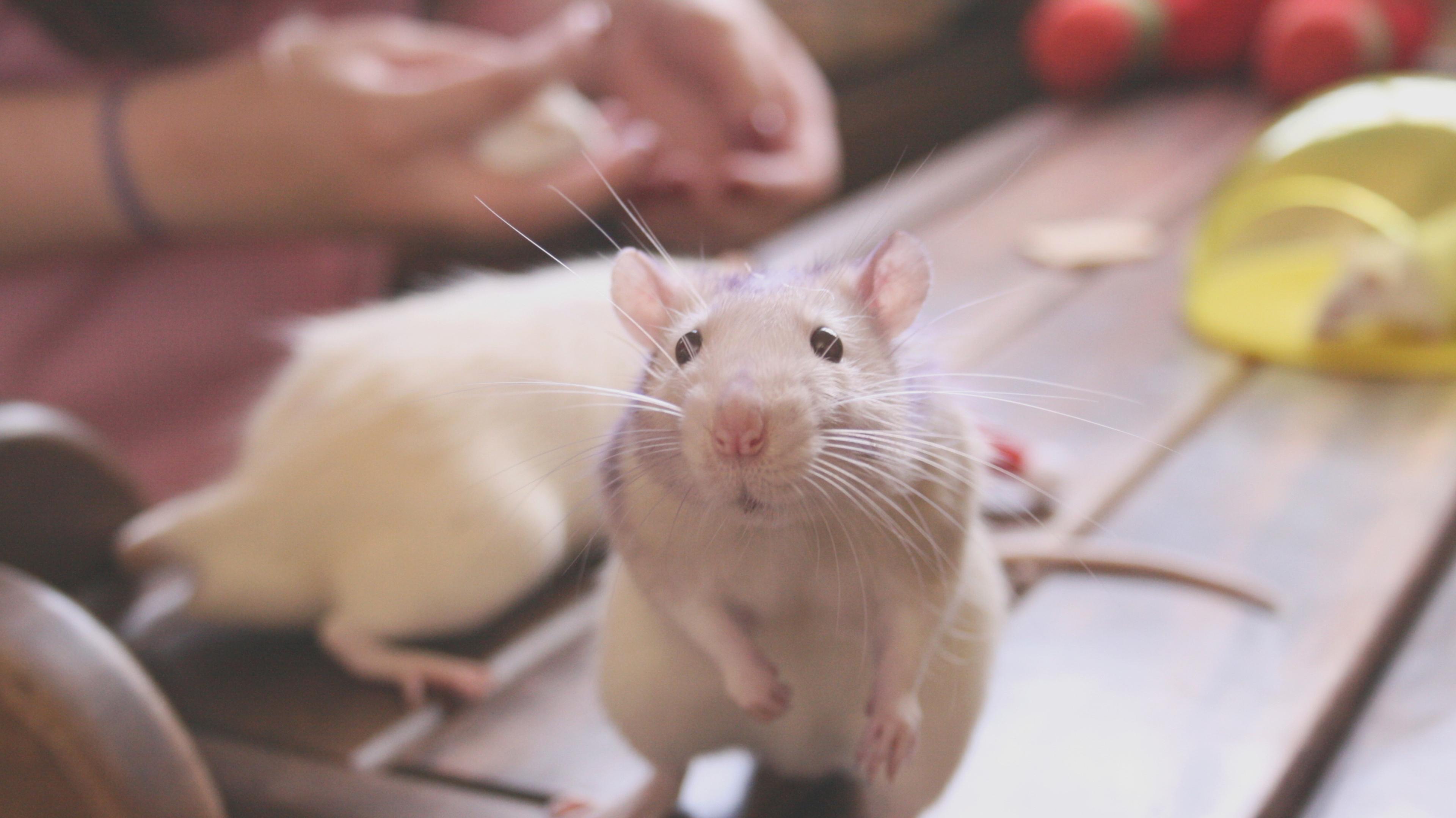 Желчные кислоты включили чувство сытости в мозге мышей
