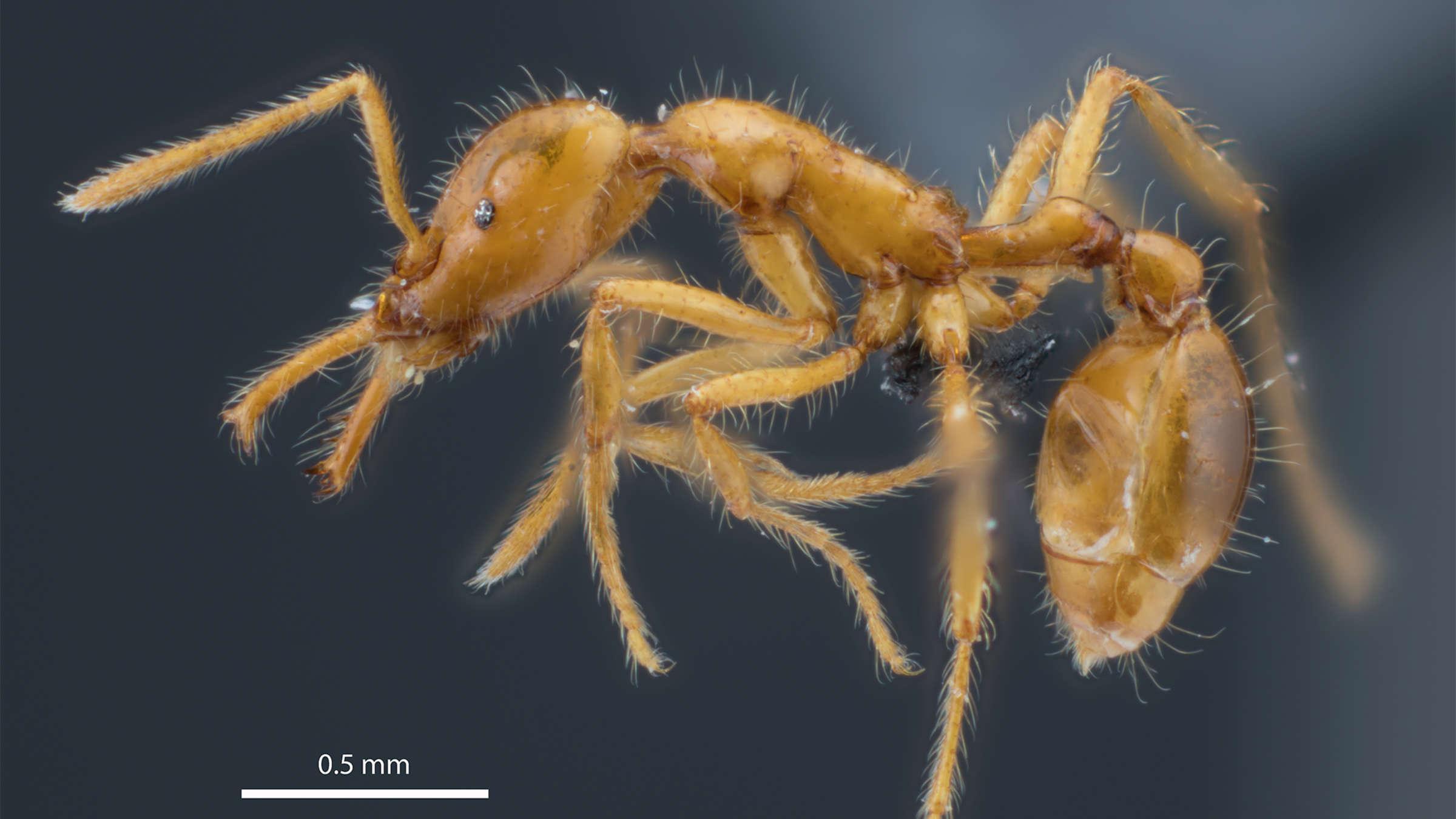 Новый вид муравьев получил гендерно-нейтральное имя