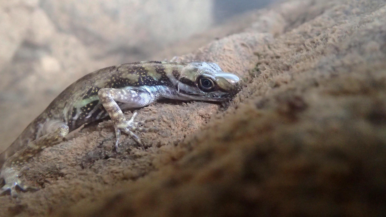 Ящерицы научились использовать воздушные карманы, чтобы дышать под водой