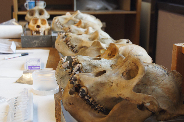 Наши предки стали употреблять коренья в пищу еще до появления Homo sapiens