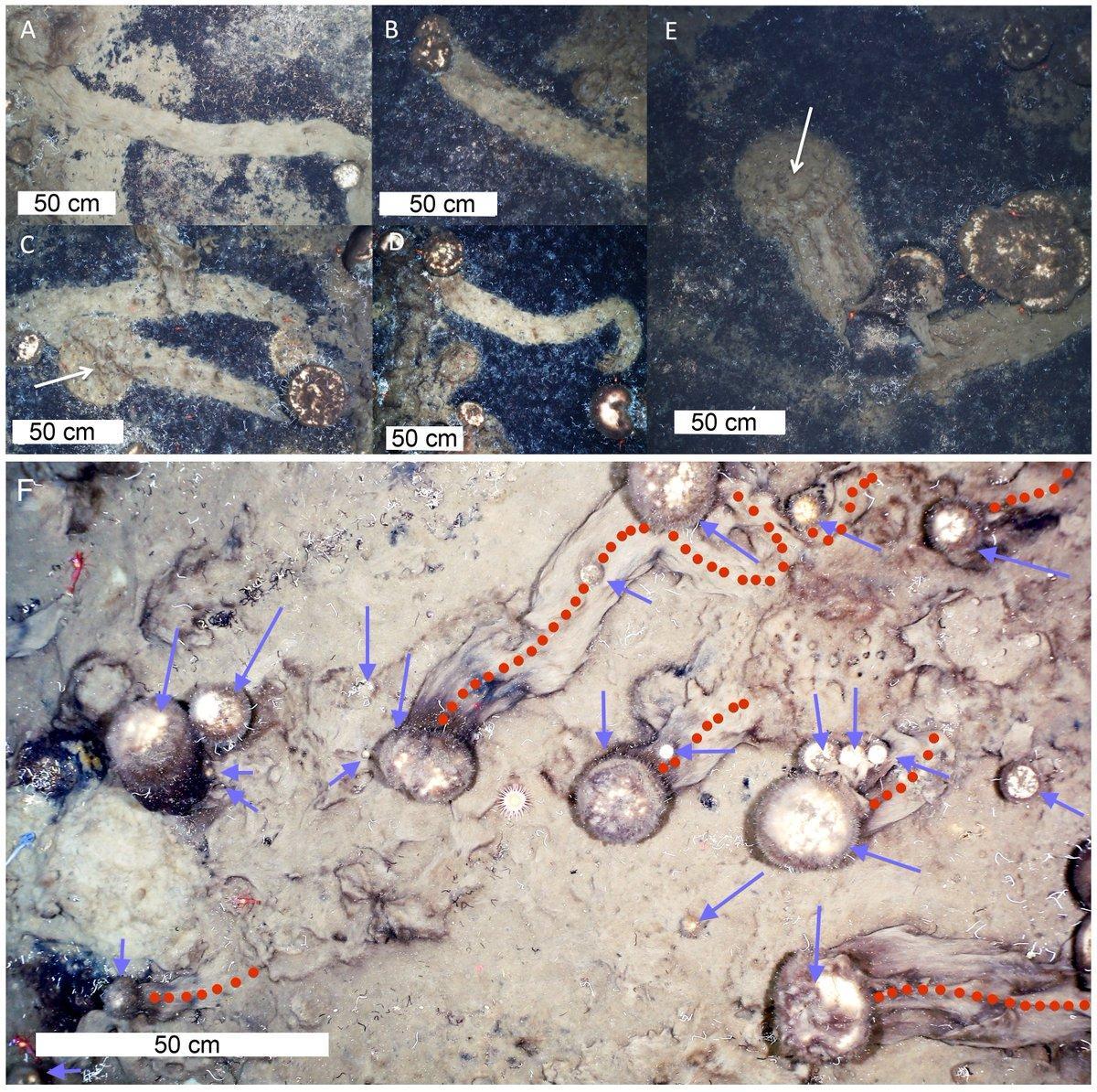Биологи застали губок за передвижением по дну океана