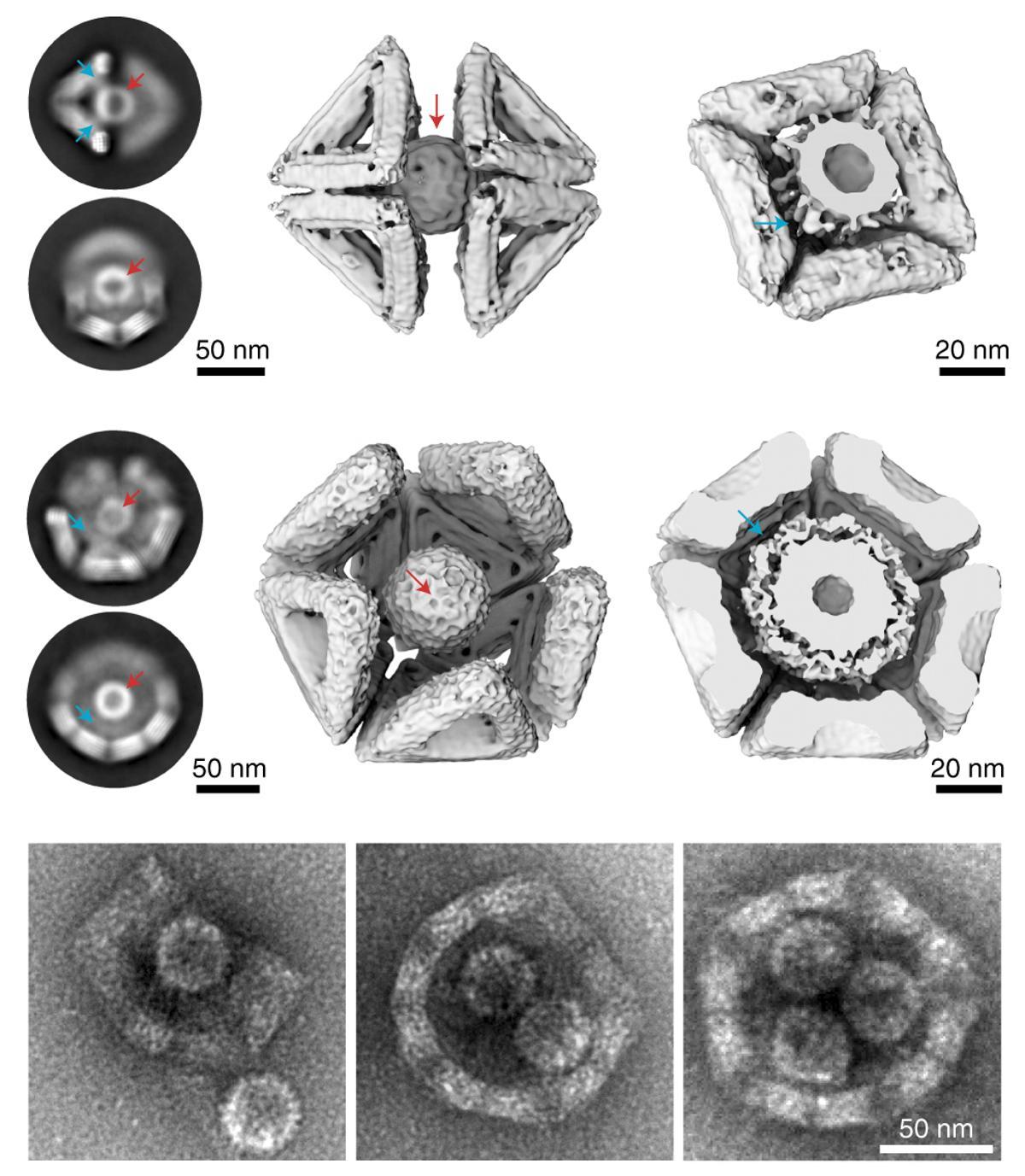 Вирус гепатита B заперли в клетке из ДНК