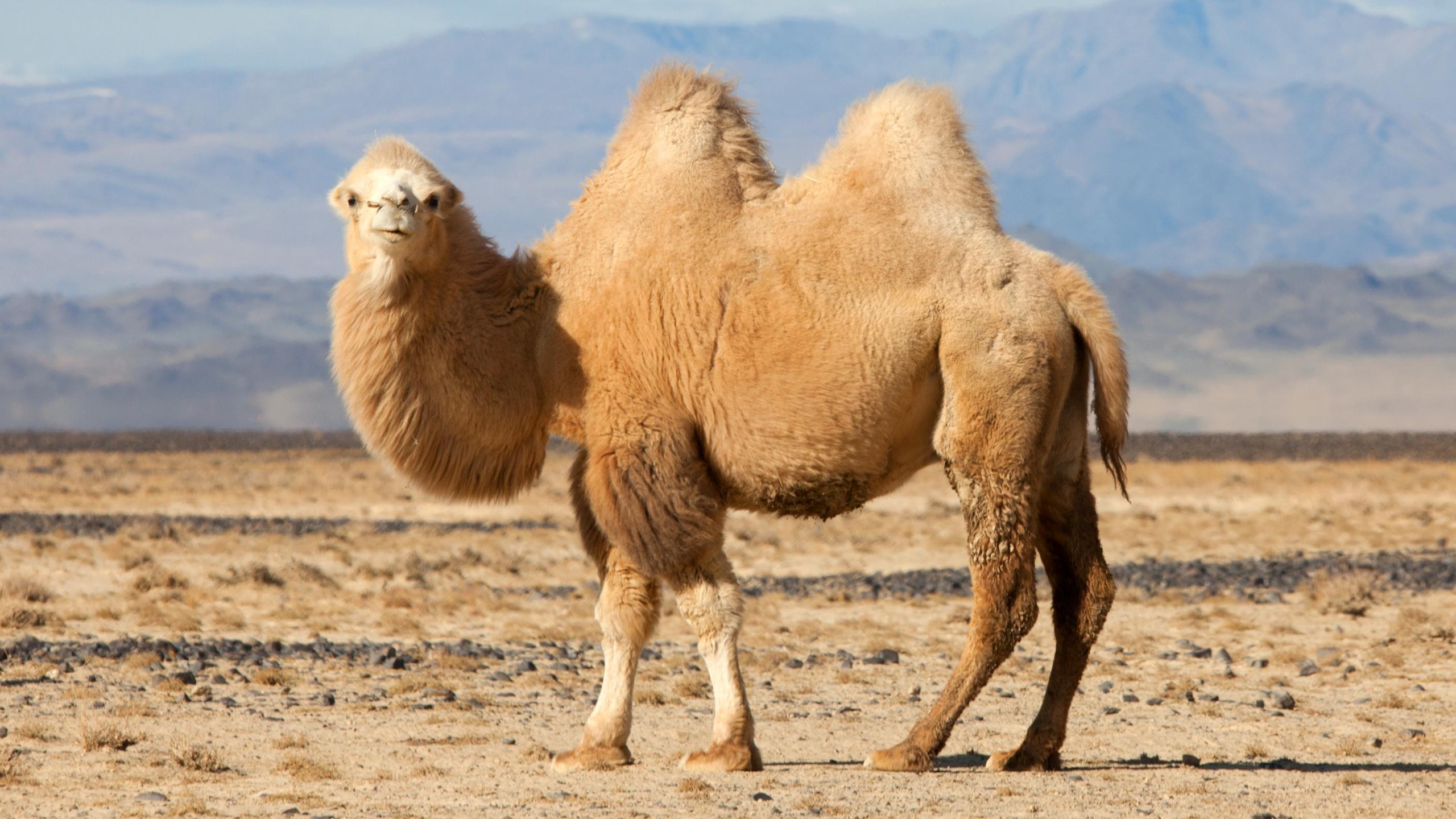 Биологи нашли у верблюдов новые секреты экономии воды