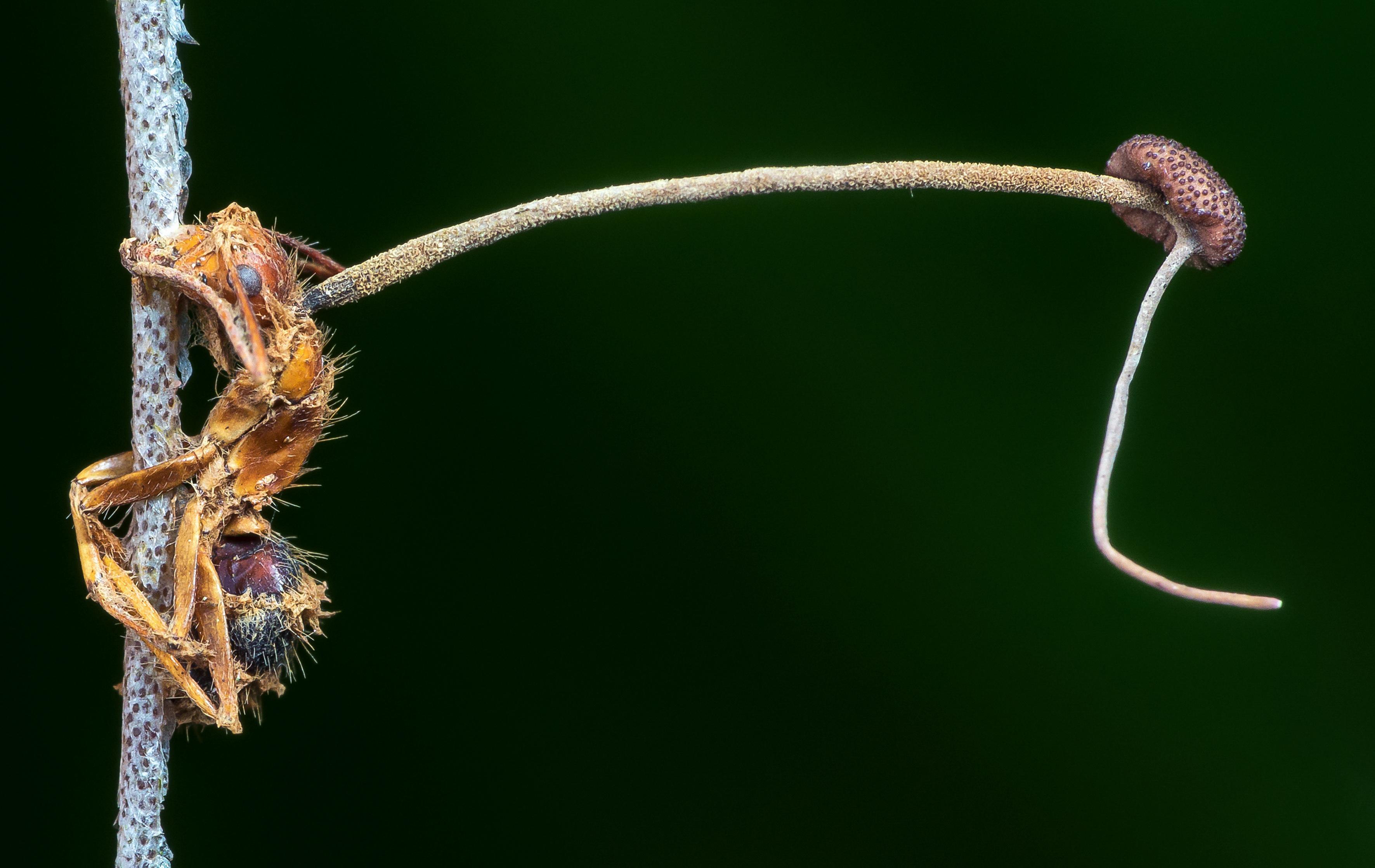 В балтийском янтаре обнаружили паразитирующий на муравьях гриб