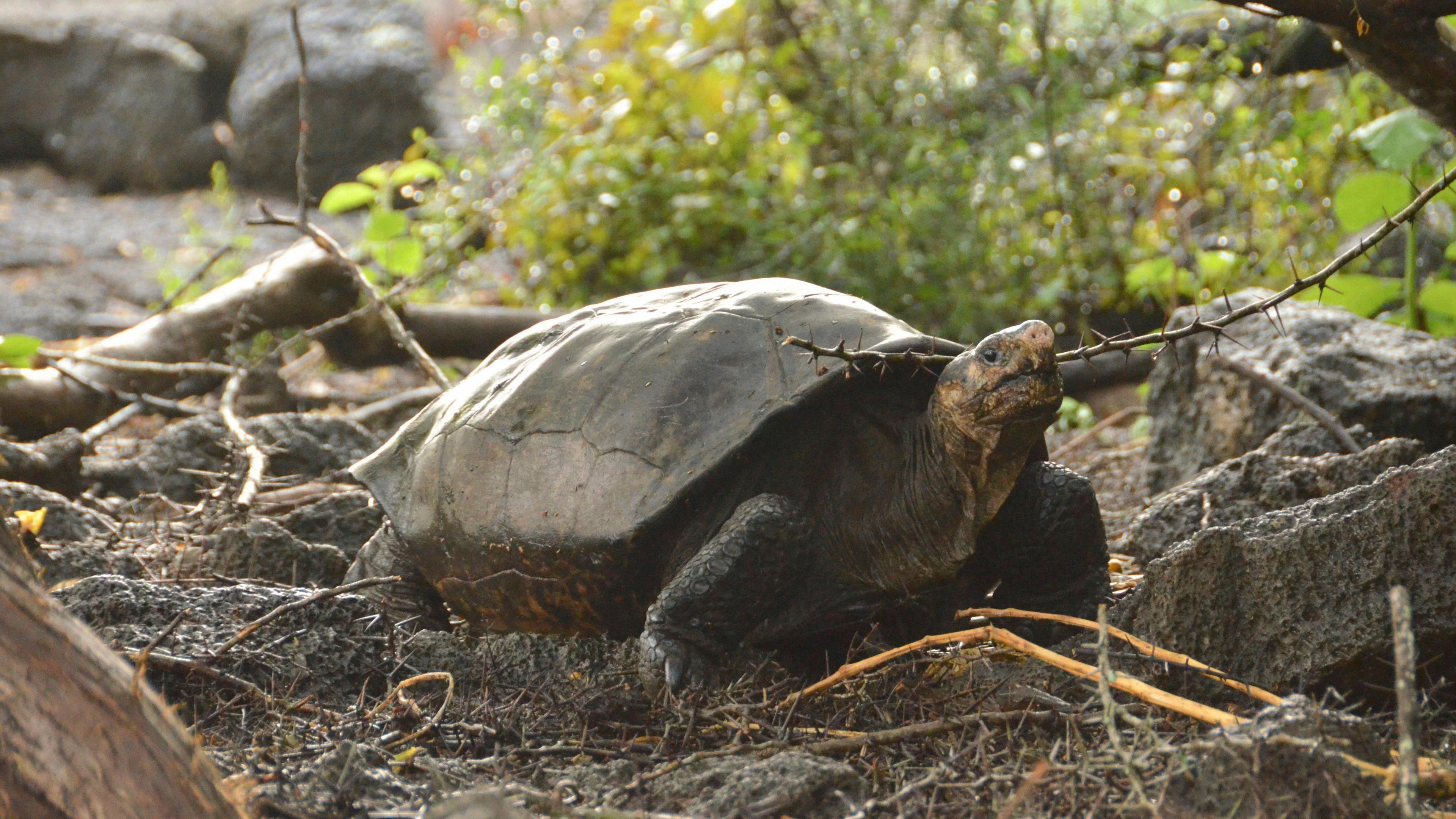 Генетики подтвердили повторное открытие считавшейся вымершей более ста лет черепахи