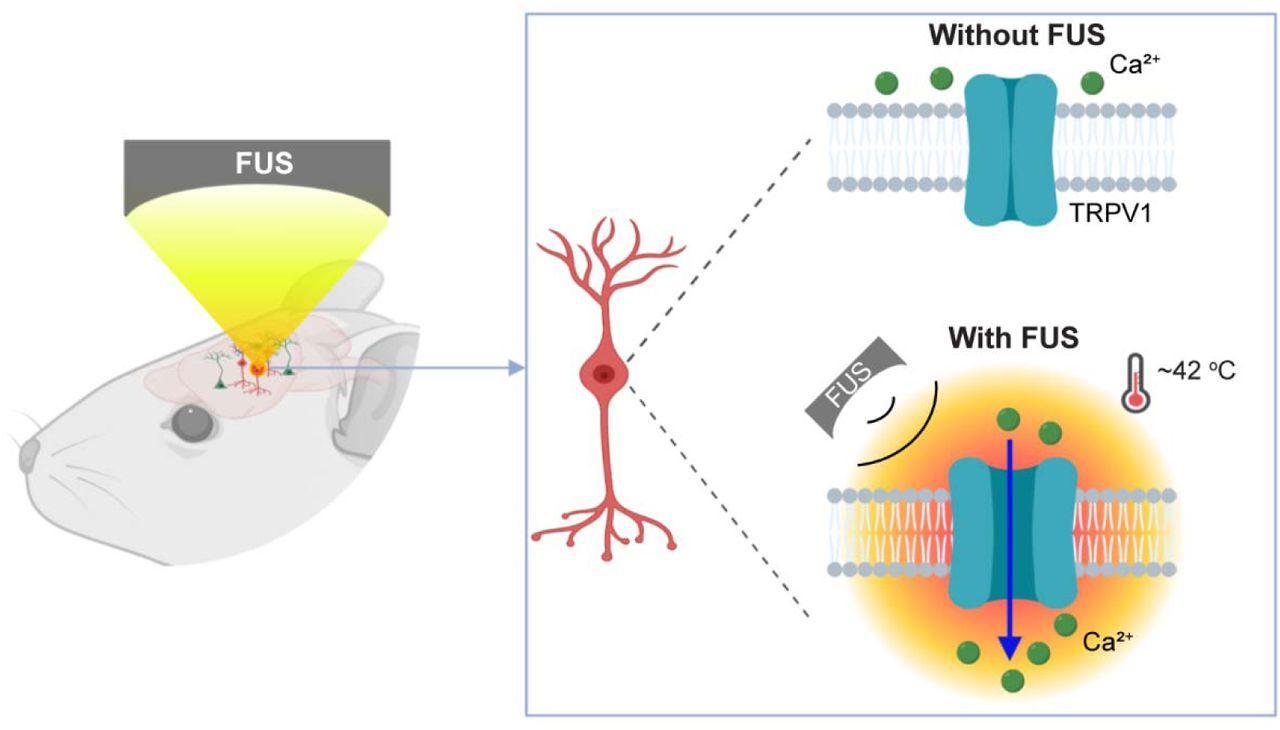 Термогенетика помогла покрутить мышей ультразвуком
