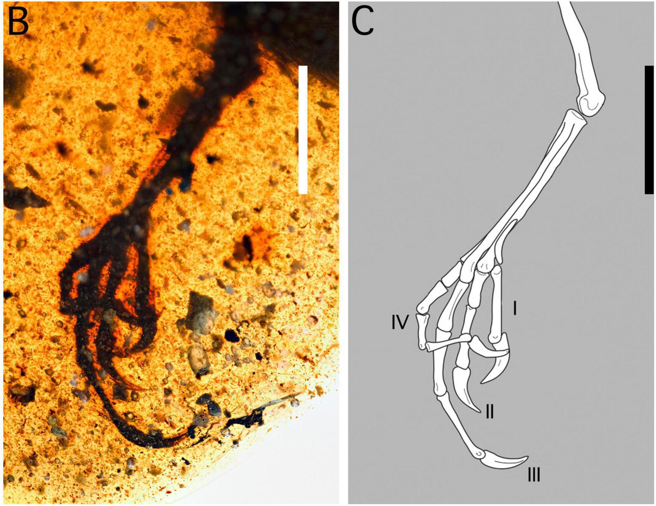 Палеонтологи объяснили функции необычных ног энанциорнисовых птиц из бирманского янтаря