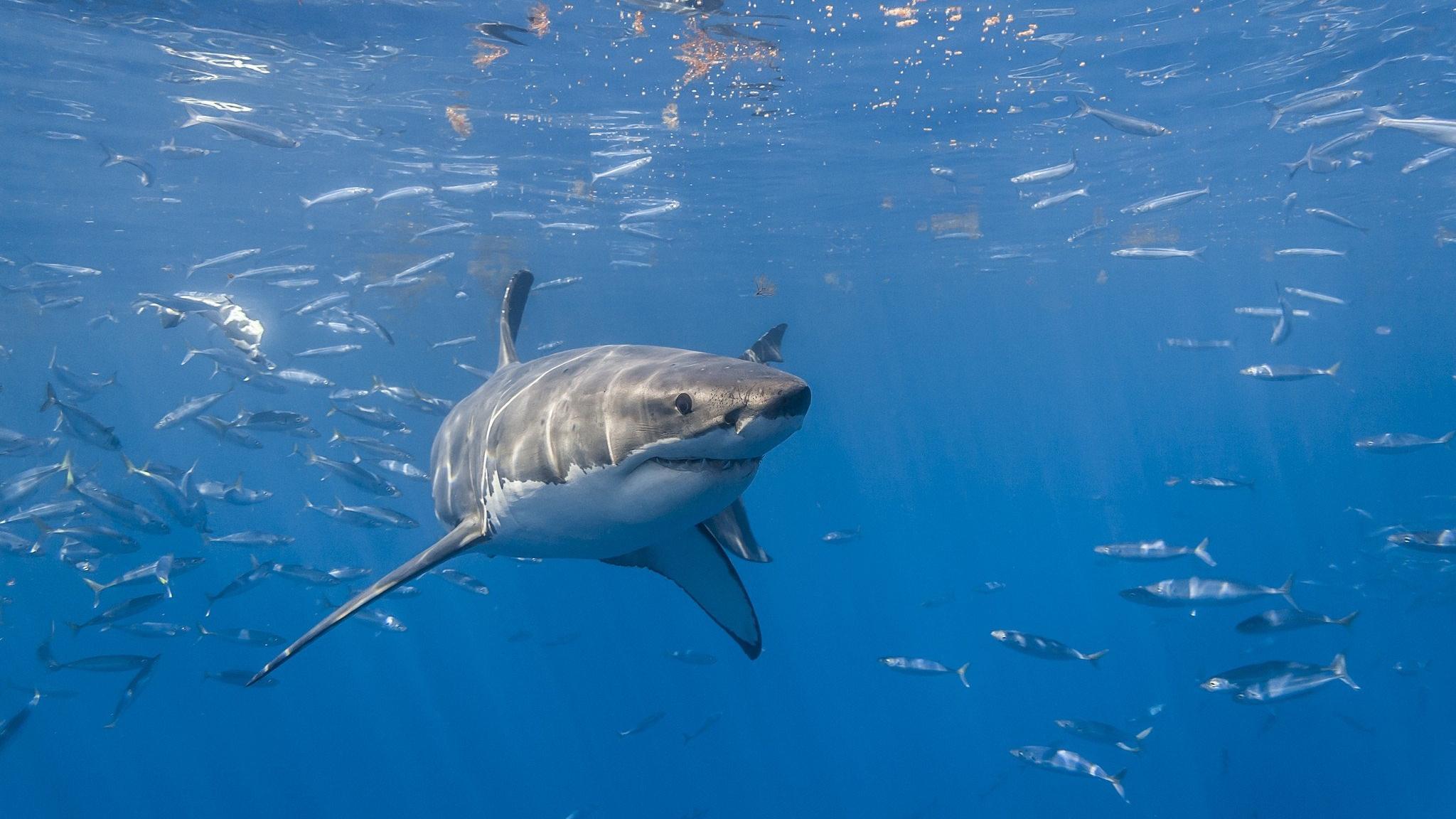 Обнаружены следы древнего массового вымирания акул