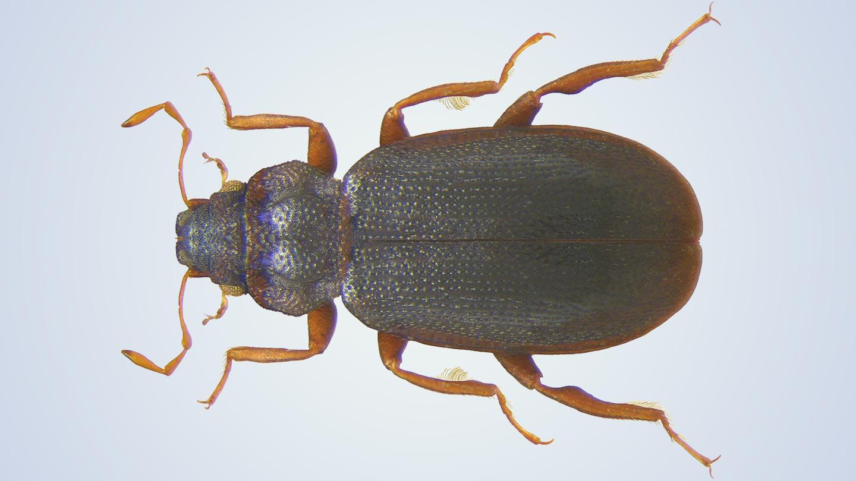 В Австралии нашли жуков, ходящих по поверхности воды вверх ногами