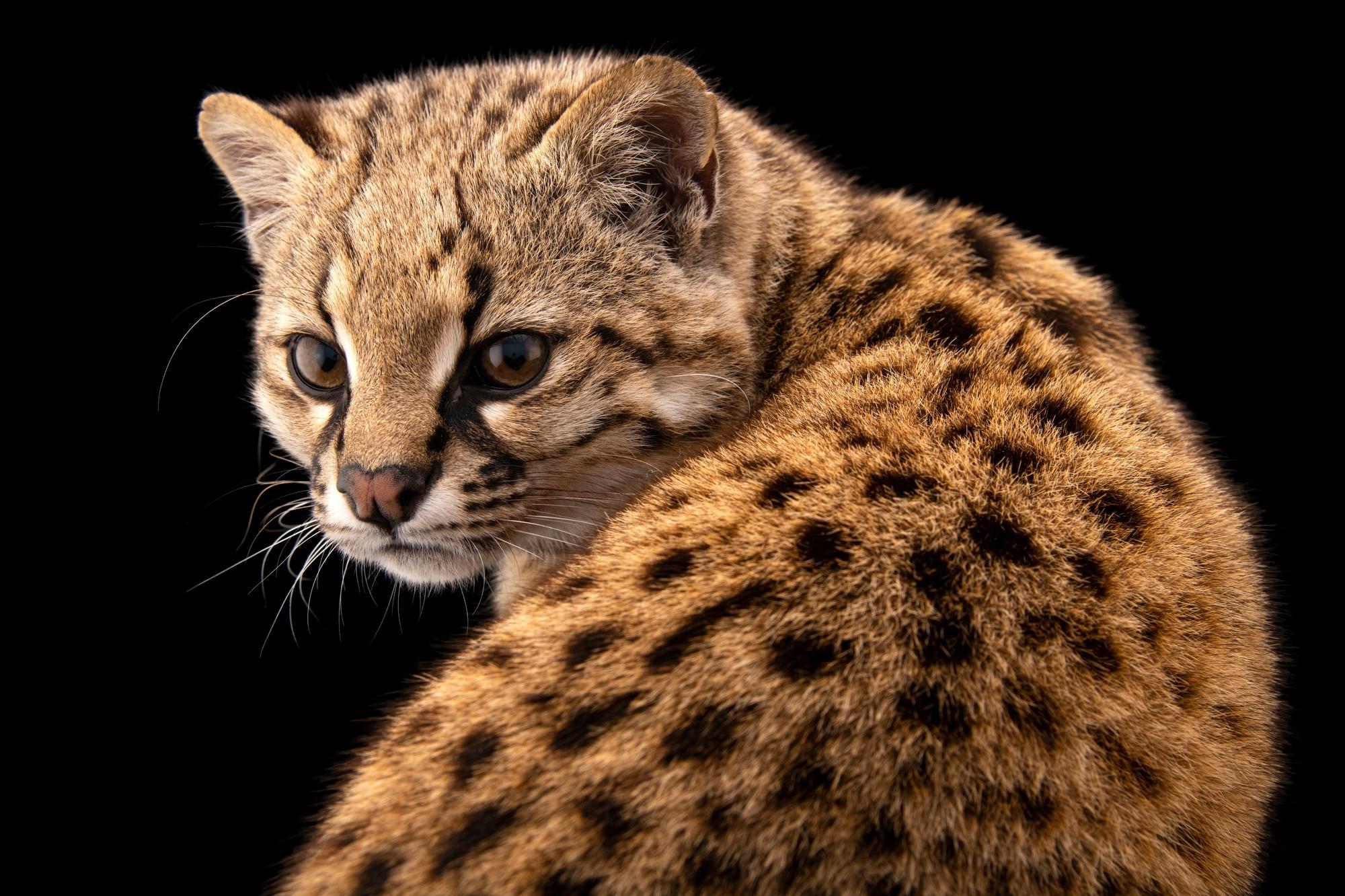 Среди южноамериканских млекопитающих нашлись новые хозяева трихинелл