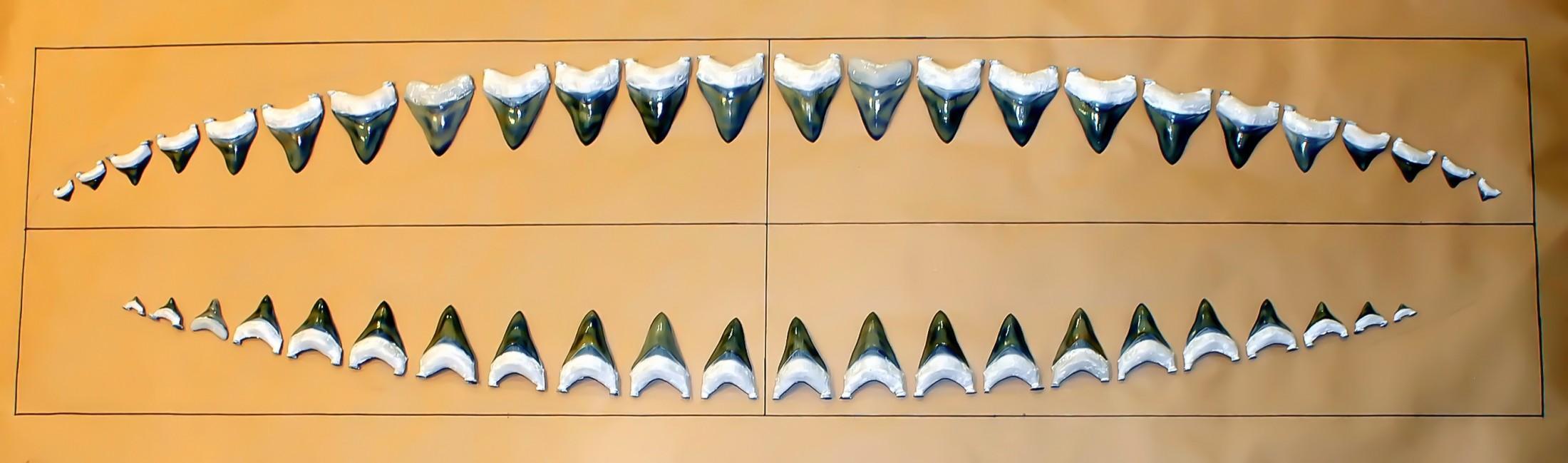 Размеры мегалодонов скорректировали в сторону увеличения