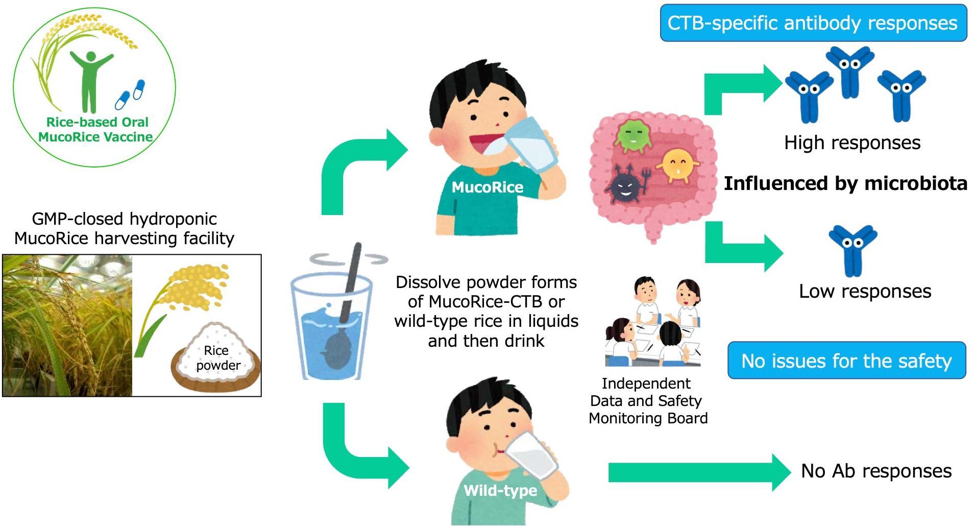 Японскими учеными успешно испытана рисовая вакцина от холеры