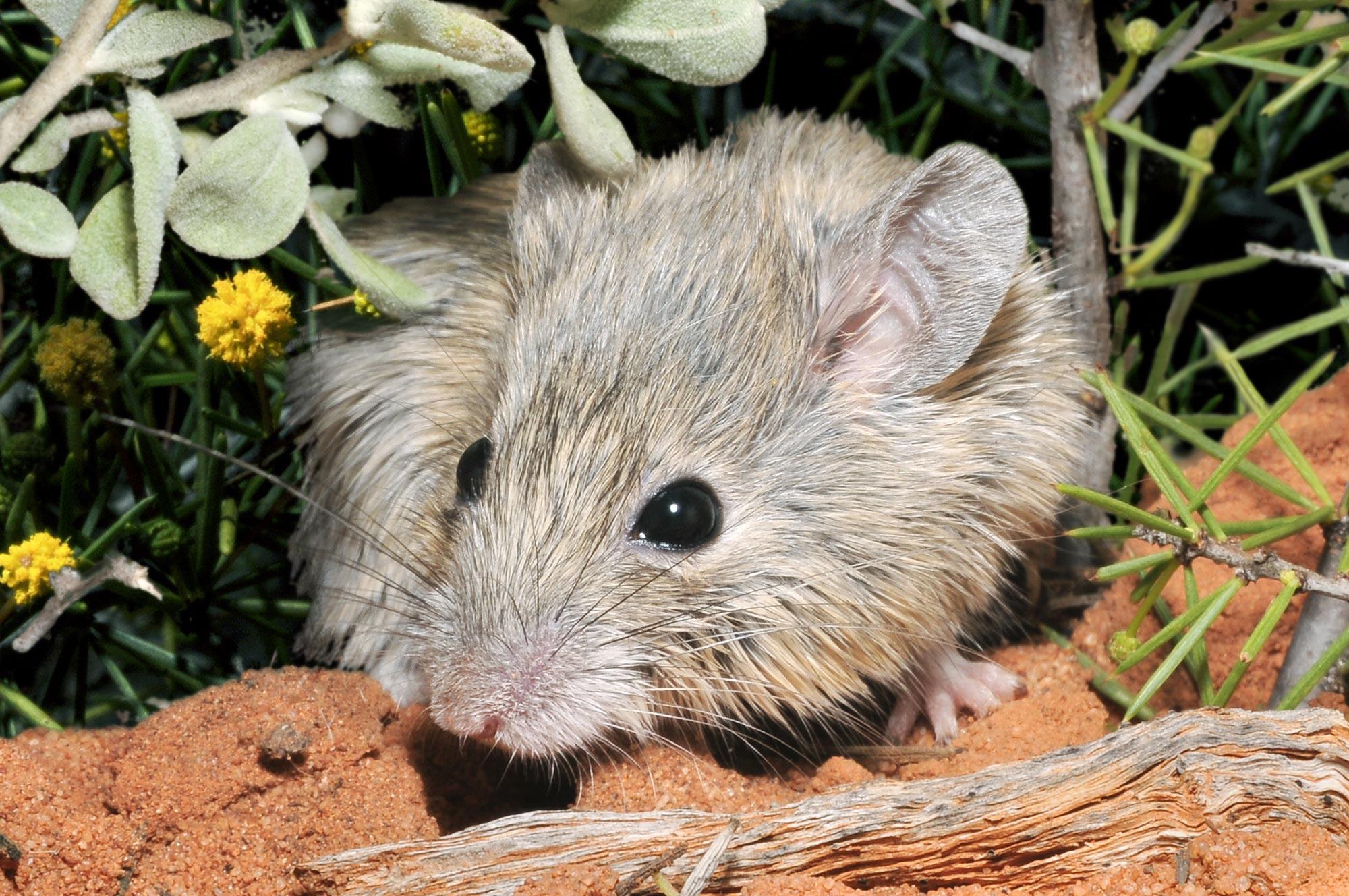Считавшуюся вымершей австралийскую мышь переоткрыли спустя 160 лет
