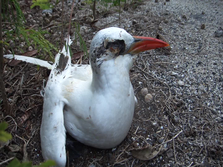 На тихоокеанском атолле ради спасения птиц уничтожили желтых сумасшедших муравьев