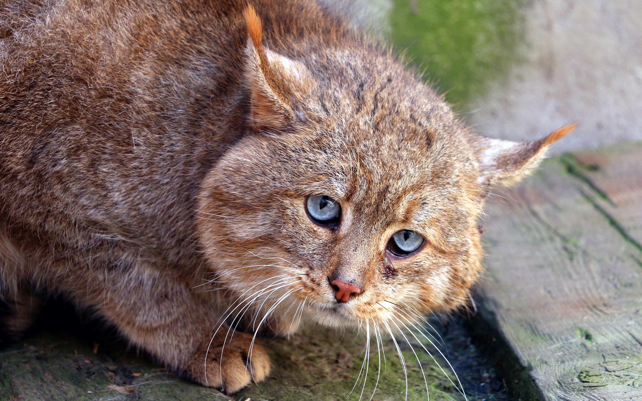 Ученые исключили происхождение китайских домашних кошек от китайских горных кошек