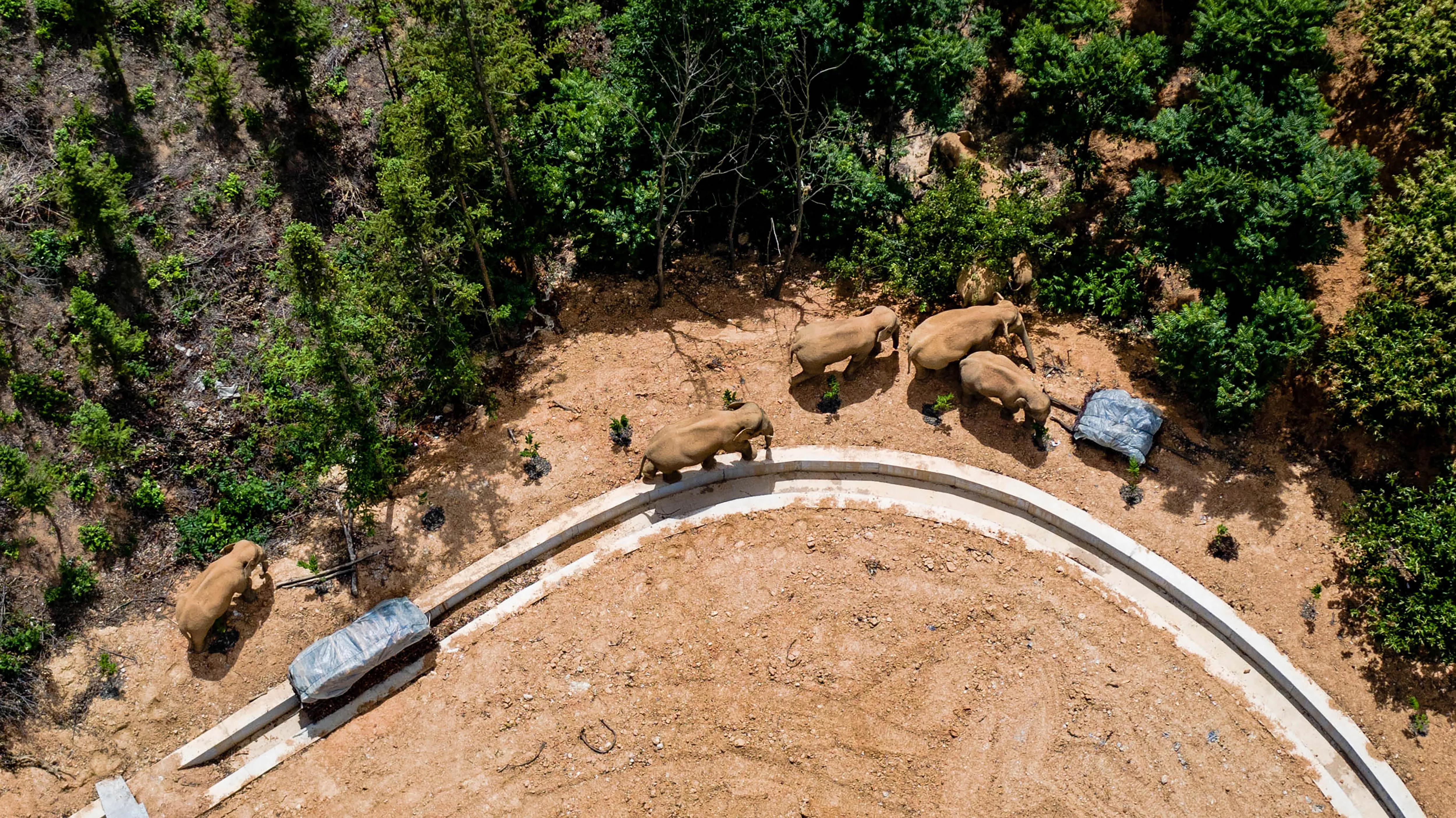 Путешествующее с прошлого марта стадо слонов добралось до столицы провинции Юньнань