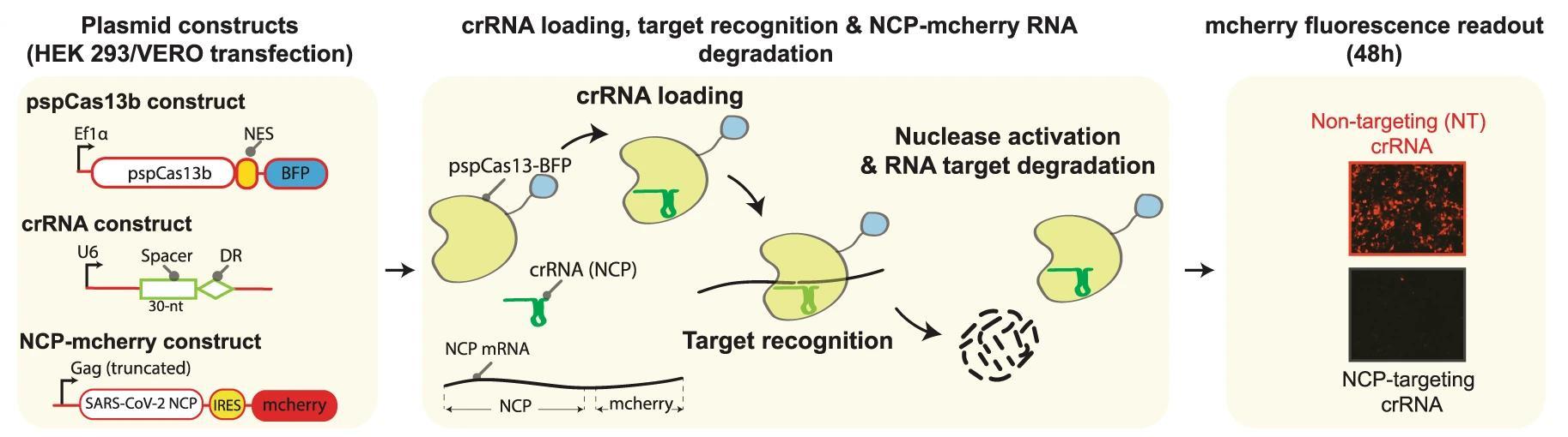 CRISPR подавил размножение коронавируса в клетках человека