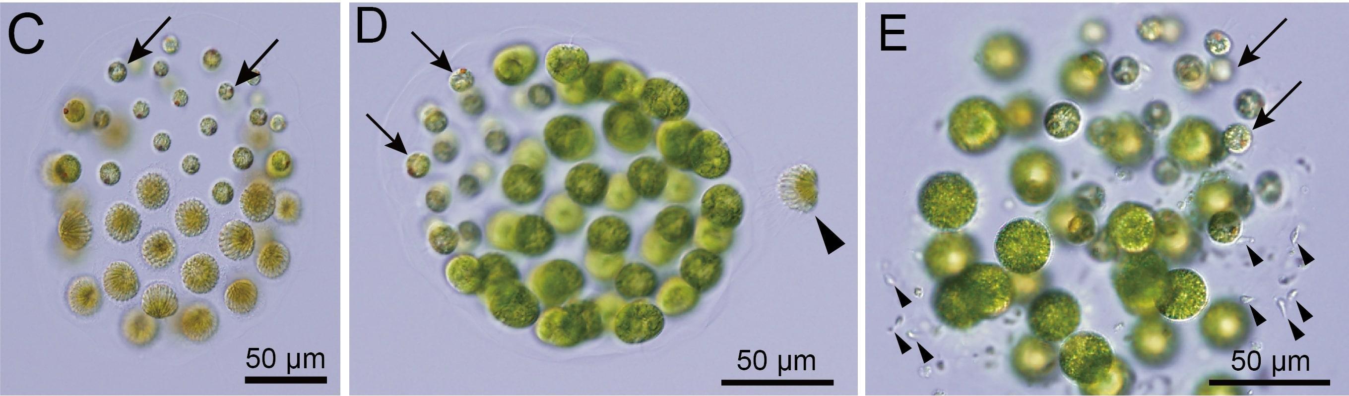 Обнаружена первая водоросль с тремя полами