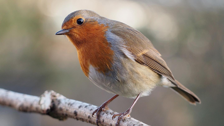 Раскрыта загадка внутреннего компаса птиц