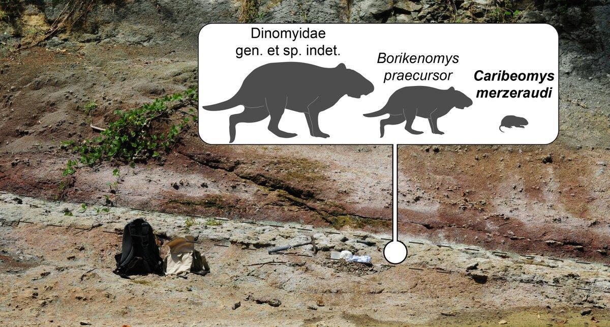 Ископаемые зубы указали на североамериканское происхождение «карибской мыши»