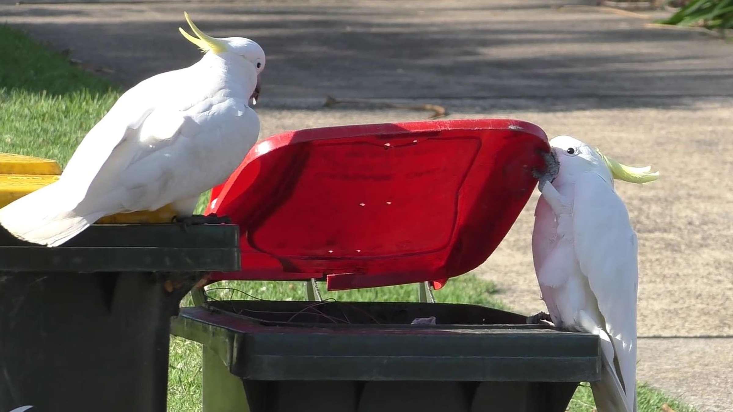 Какаду научили сородичей открывать крышки мусорных баков