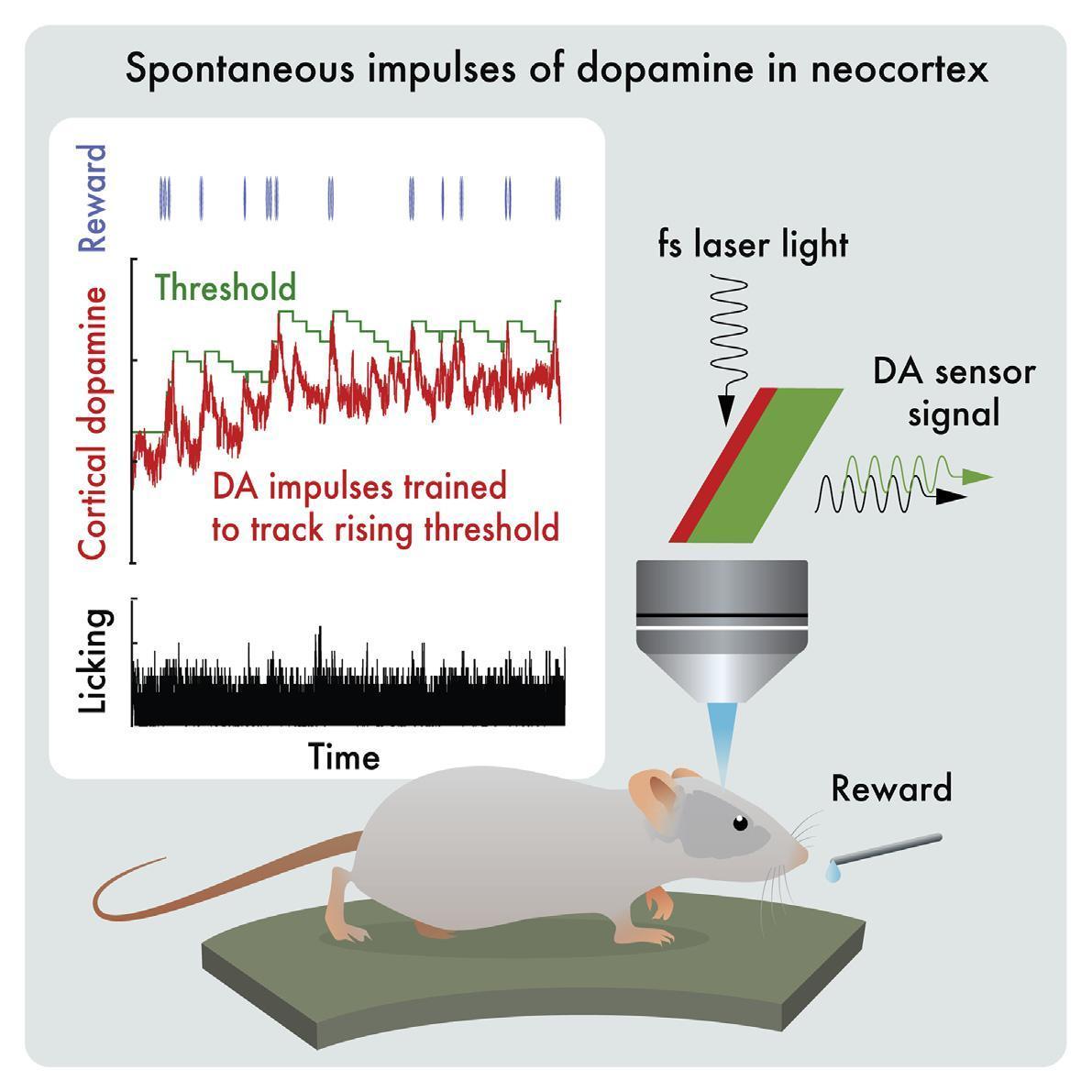 Мыши оказались способны контролировать содержание дофамина в мозге