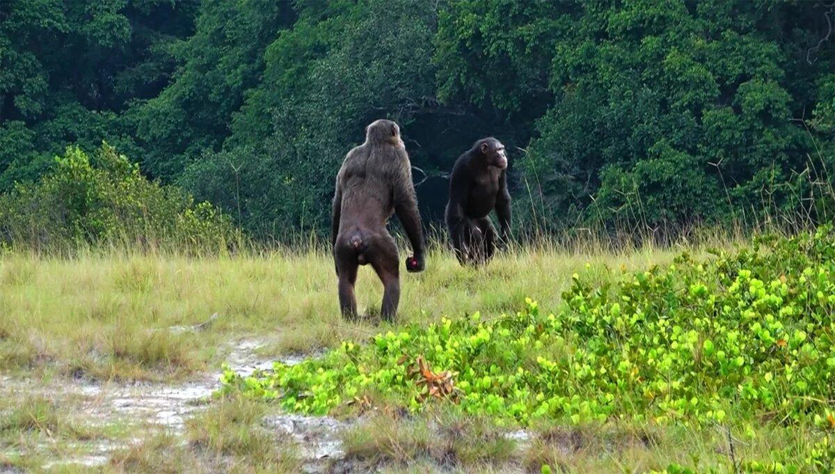 Ученые впервые зафиксировали убийства горилл группой шимпанзе