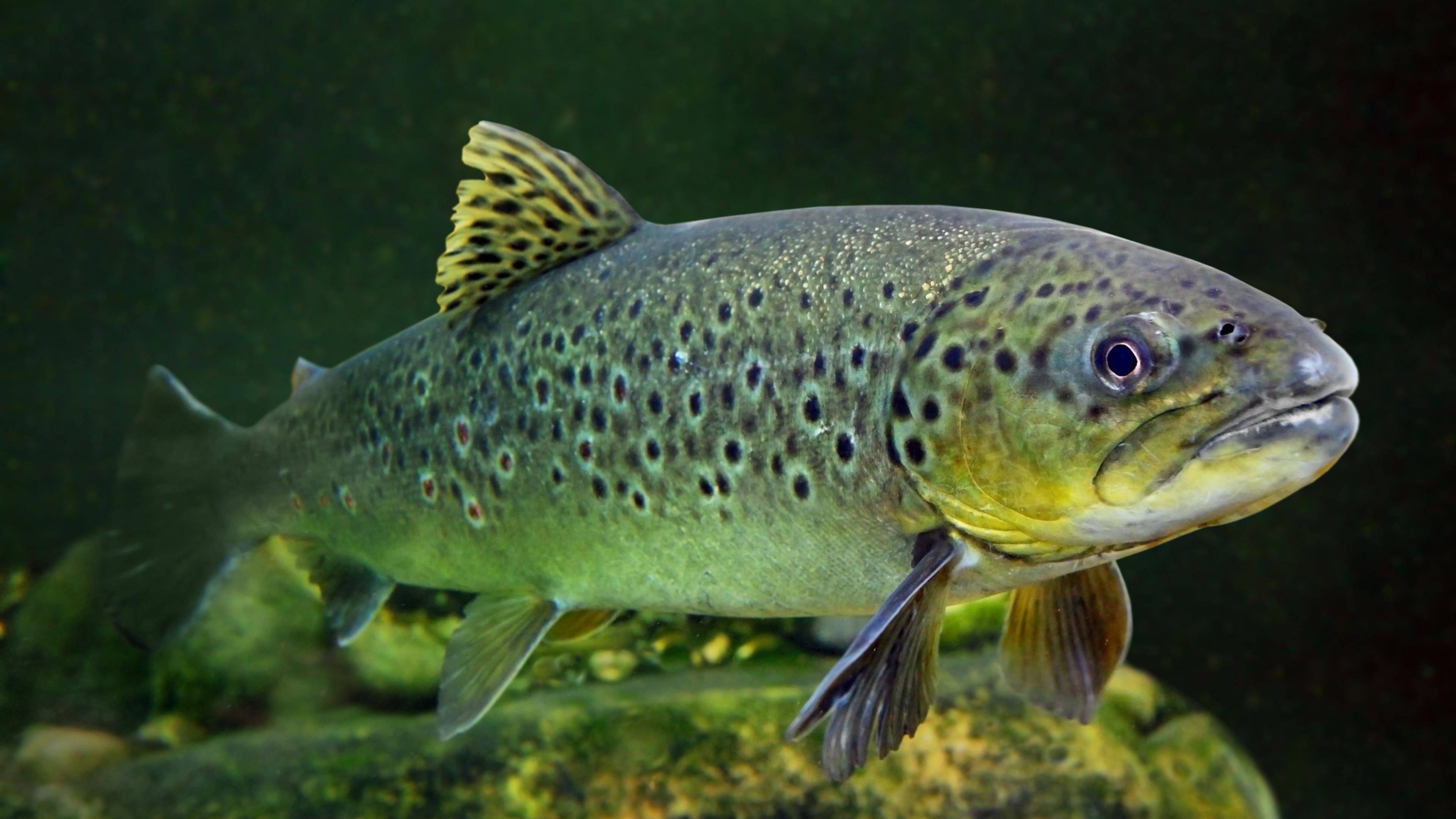 Рыбы стали зависимыми от наркотиков, попадающих в воду