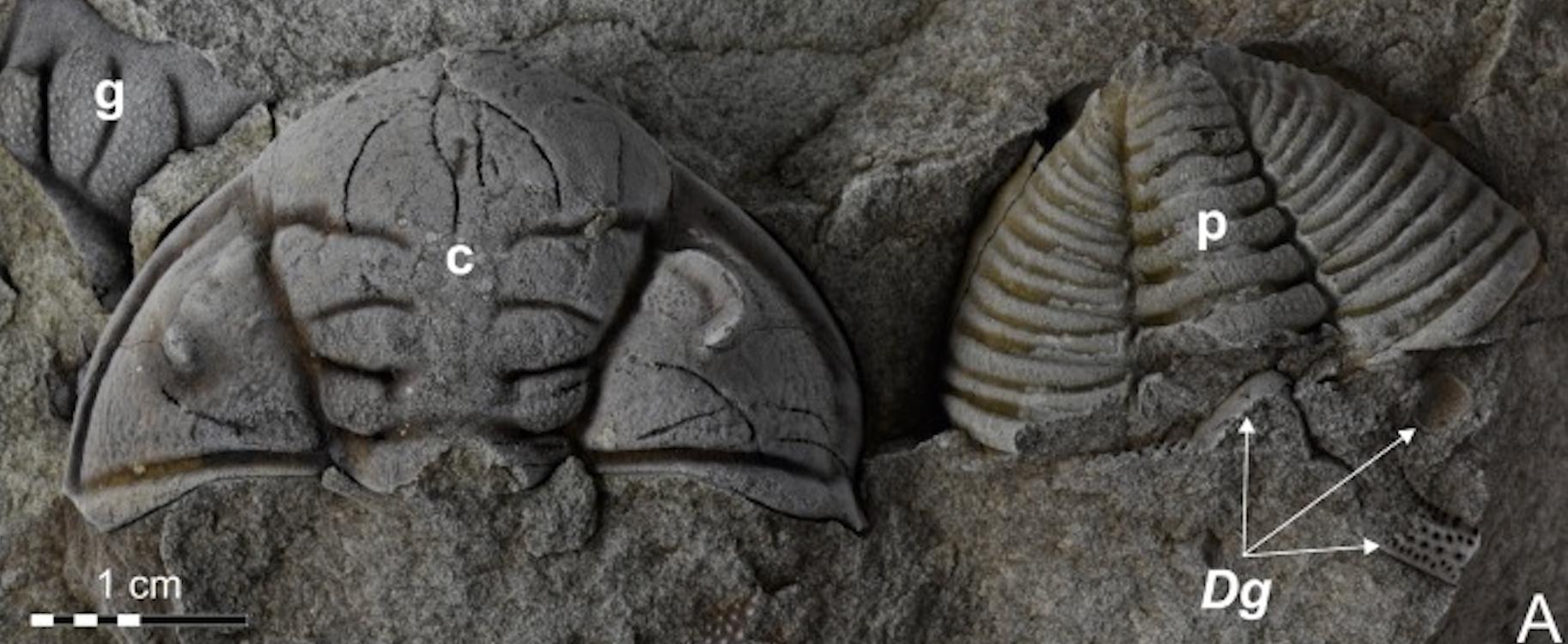 В Чехии нашли окаменелость трилобита с тяжелыми травмами, нанесенными ракоскорпионом