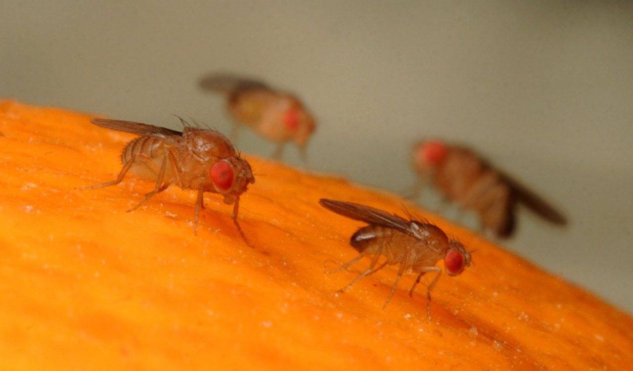 Биологи выяснили, как плодовые мушки выбирают пищу