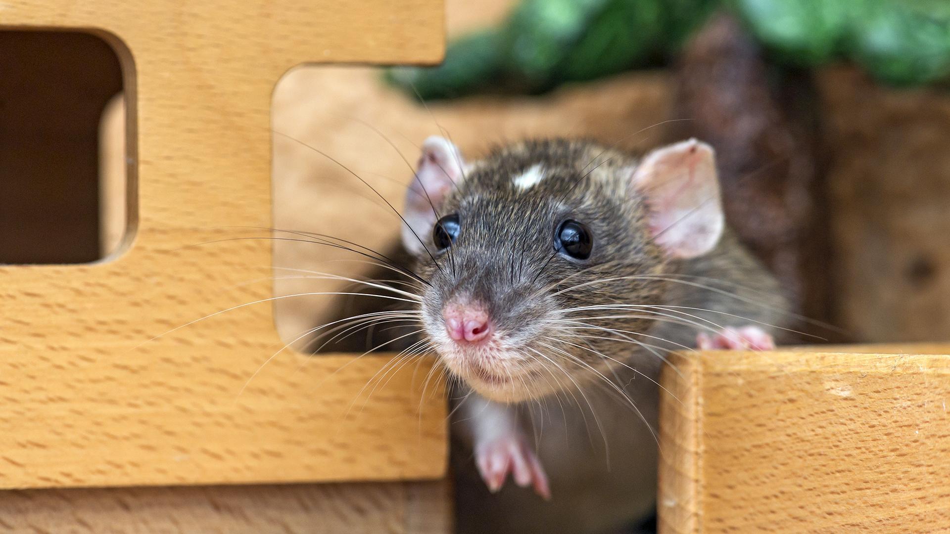Предложен новый способ измерения мании у крыс