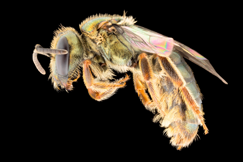 Фиджийские пчелы выиграли от вырубки лесов на главном острове архипелага