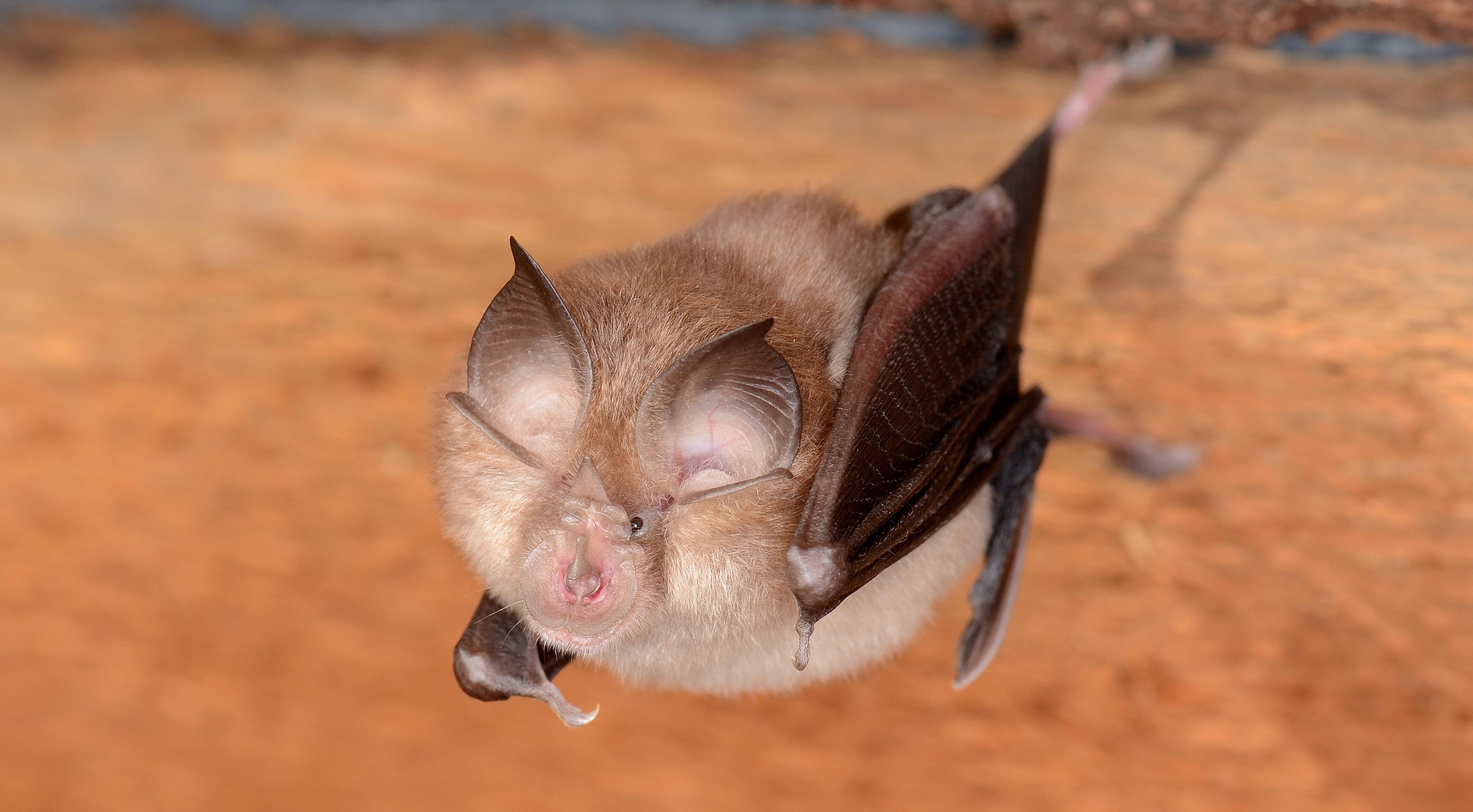 У летучих мышей в Великобритании выявили ранее неизвестный сарбековирус