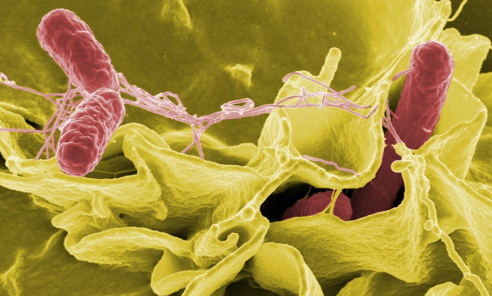 Клетки эпителия оказались способны вырабатывать «мыльный» белок, разрушающий бактерии
