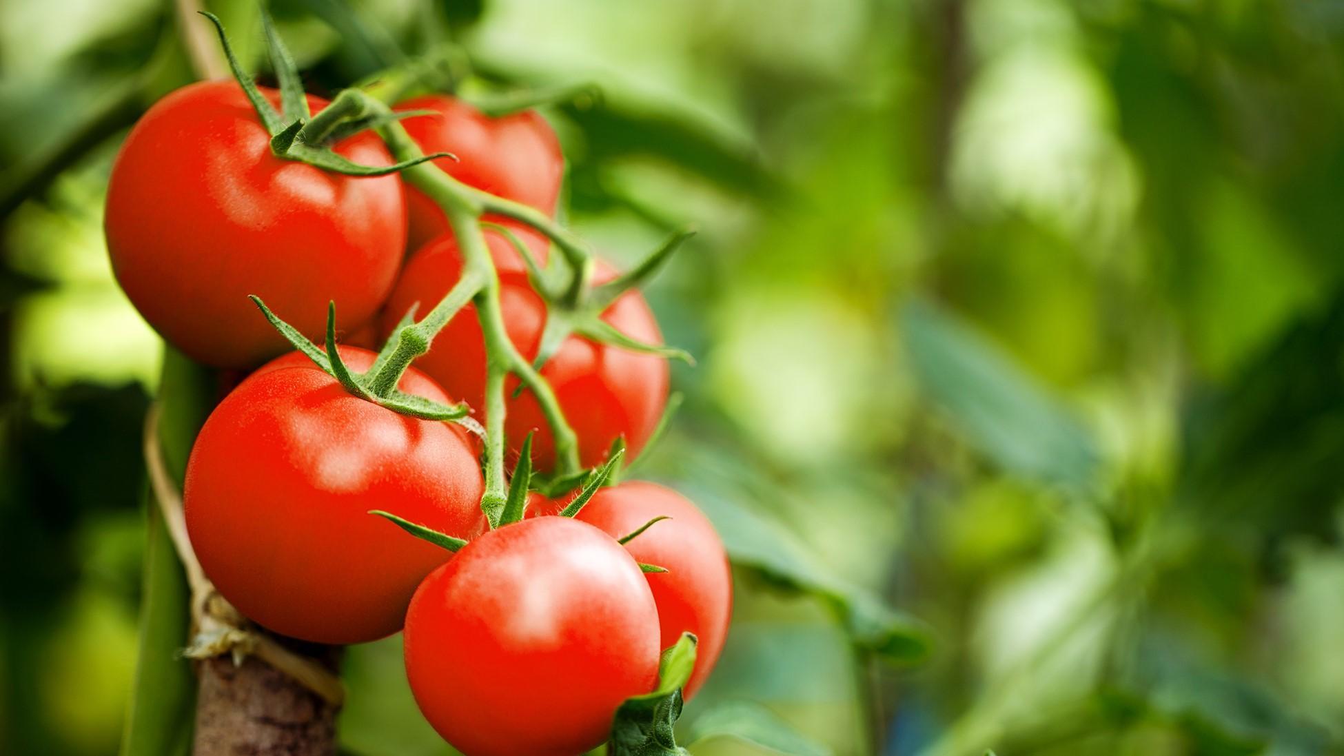 Плоды томатов оказались способны сигнализировать растению об опасности