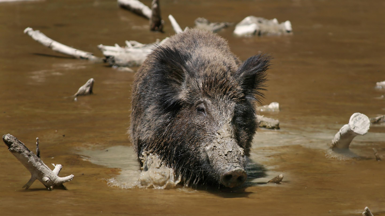 Дикие кабаны скрестились с домашними свиньями в зоне отчуждения Фукусимы