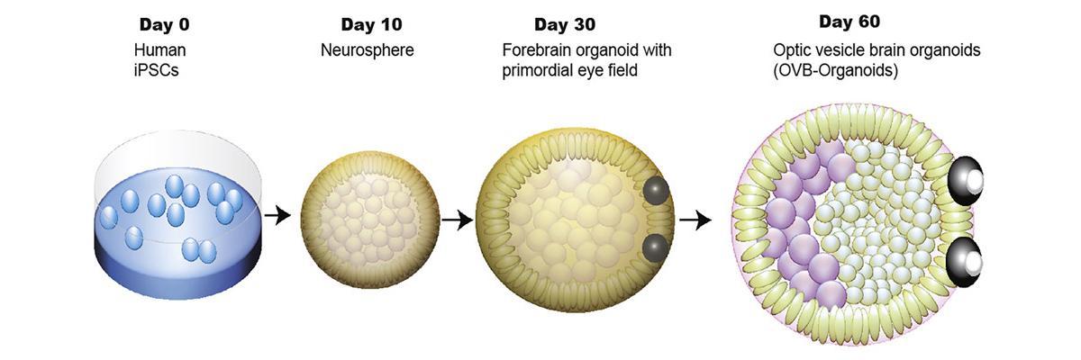 Биологи вырастили органоиды мозга с парой зачаточных глаз