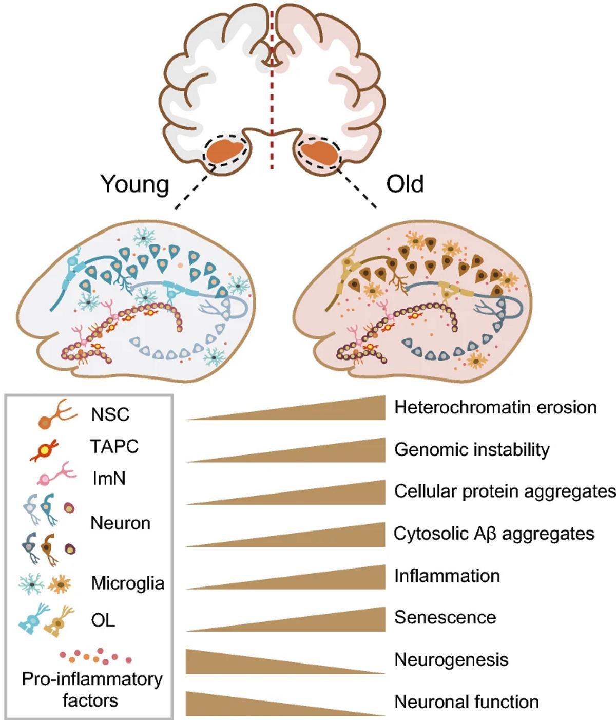 Китайские исследователи создали атлас стареющего гиппокампа