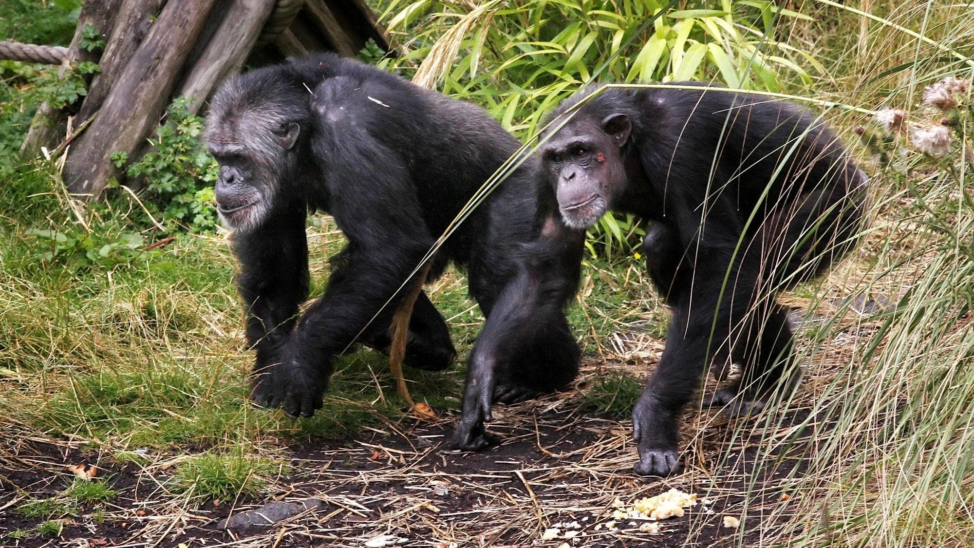 У бонобо и шимпанзе обнаружили приветствия и прощания