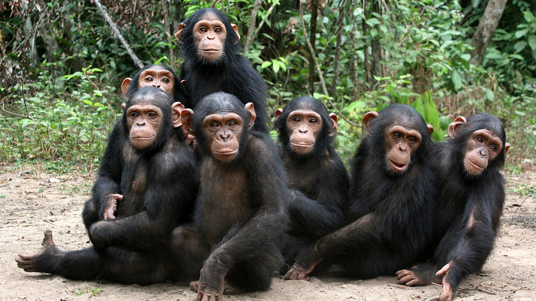 Дружба между самцами шимпанзе повлияла на численность их потомства